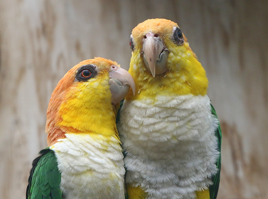 Caique Love