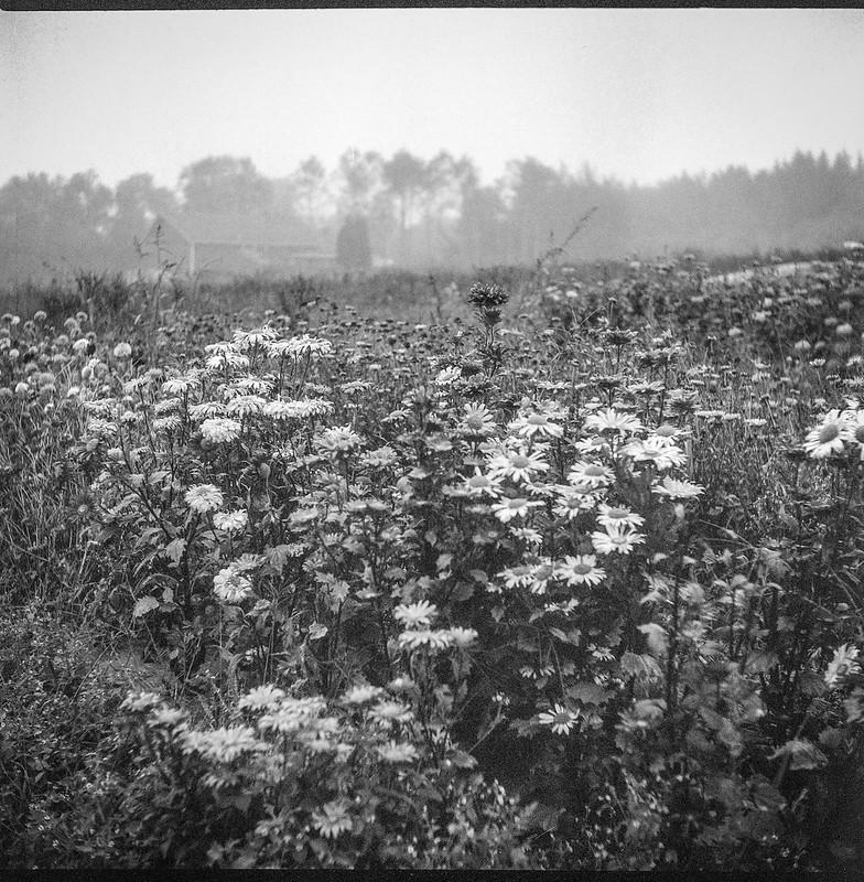 floral patch, fog, Weskeag Farms, South Thomaston, Maine, Ricohflex Dia M, Arista.Edu 200, Moersch Eco Film Developer, late September 2017