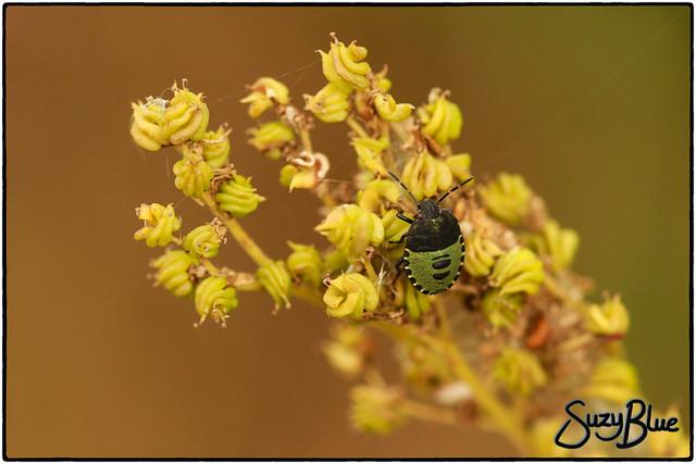 Green Shieldbug on Meadowsweet seeds