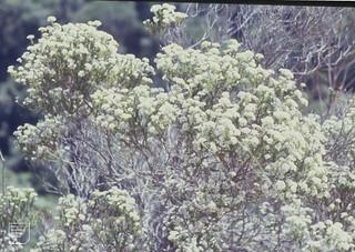Metalasia muricata. White daisy bush. Garden Route. Knysna Forest. November, 1994