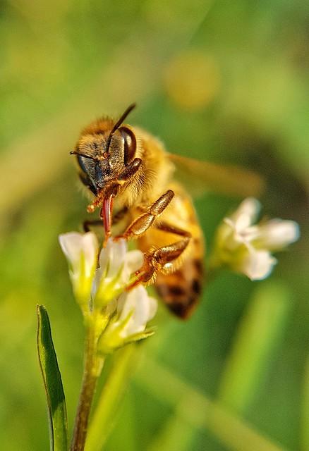 Uma das macros mais legais que já fiz de abelhas