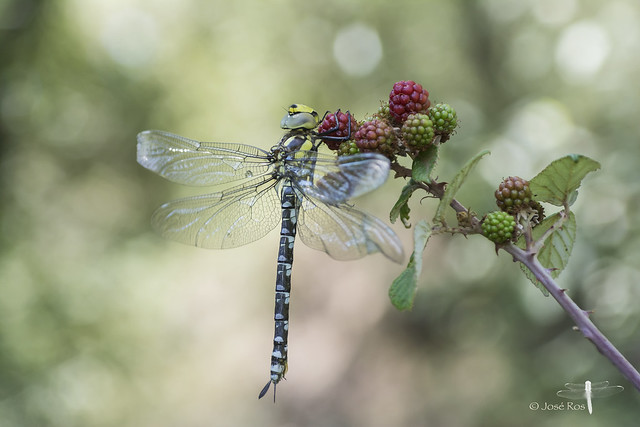 ♀ Southern Hawker immature & blackberries