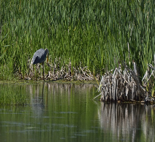 heron petrie island 13062015_DSC4386   by David Villeneuve