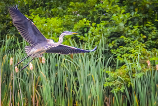 Blue Heron in Flight 1  Guttendorf_