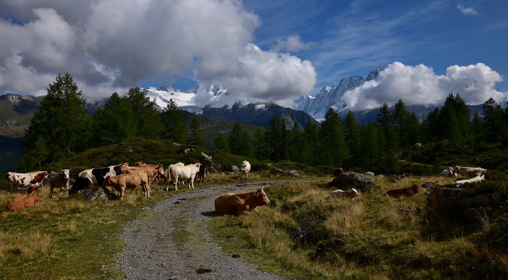 Idylle dans l'Alpage - Idyllic Alpage