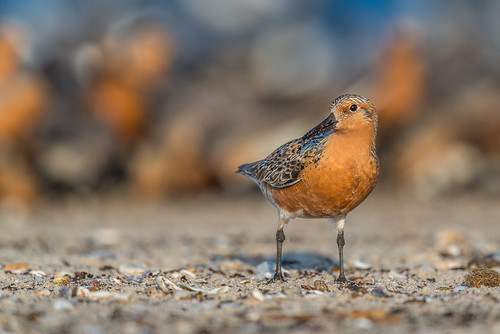 shorebird delawarebay beach wildlife redknots nature bird rarebird migration reedsbeach newjersey unitedstates us orange redknot nikon d800e