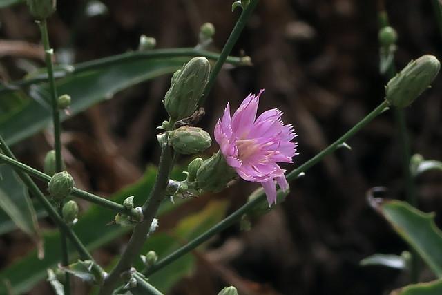 J20170914-0027—Stephanomeria cichoriacea—RPBG
