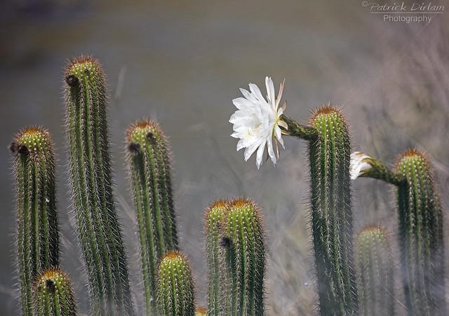 Cactus flower - Explore
