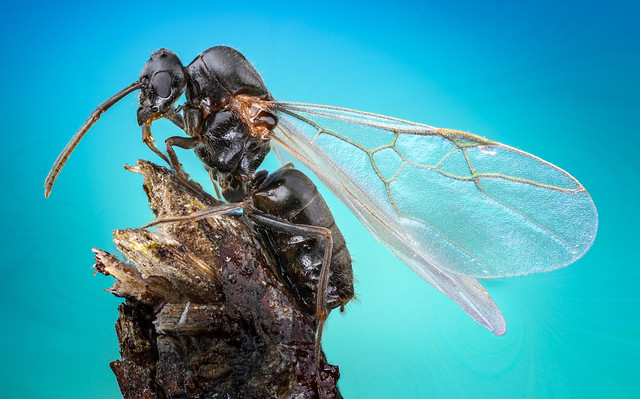 Flying Ant (Lasius niger)