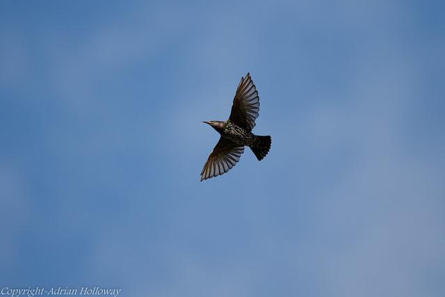Starling in flight.