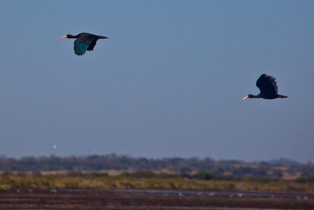 Bare-faced Ibis Take Flight