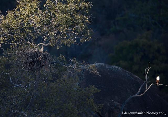 African Fish Eagle, Haliaeetus vocifer, Maleme Dam, Matopos National Park, Zimbabwe