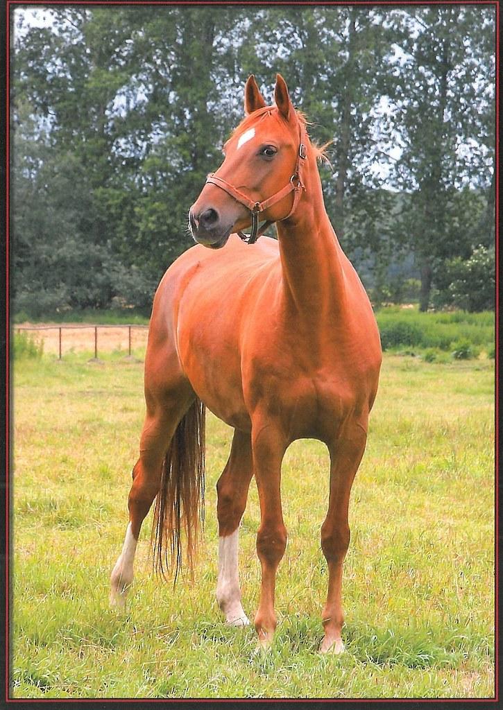 Konie Tanita Klacz Rasy Polski Koń Szlachetny Półkrwi Flickr