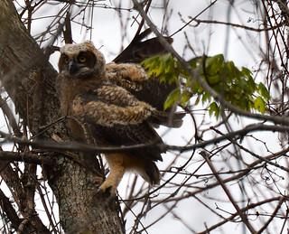 great horned owlet petrie island 15052016 DSC_0479 | by David Villeneuve