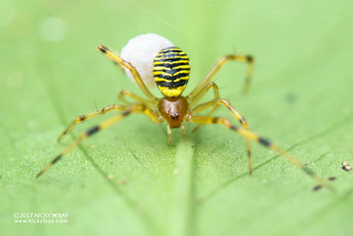 Comb-footed spider (Theridion sp.) - DSC_8955