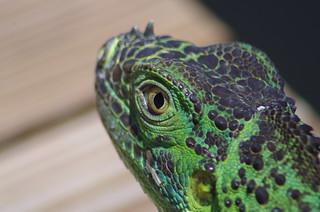 Green Iguana, Brown Dock