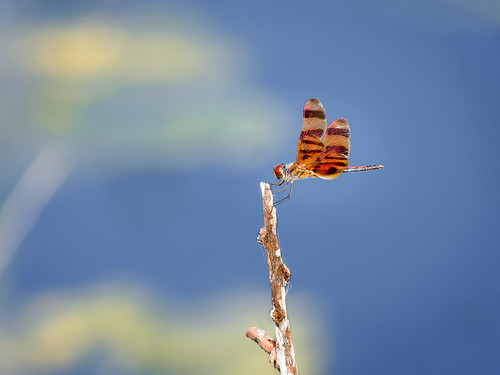 Halloween Pennant Dragonfly   by Ed Rosack