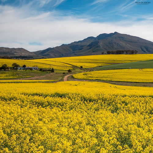 Overberg Canola Fields | by Bryn De Kocks