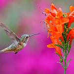 Hummingbird and Tecomaria Capensis