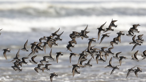 Red-necked Stints | by blachswan