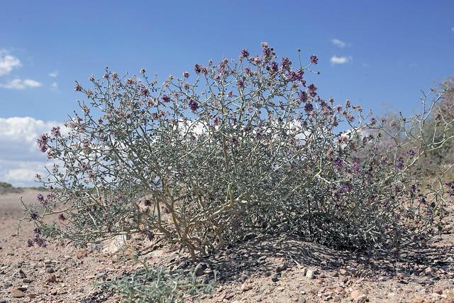 Nevada Dalea (Psorothamnus polydenius)