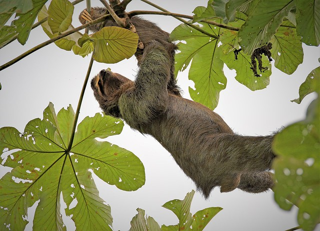 Brown Throated Three Toed Sloth Hanging