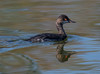 Eared Grebe (Podiceps nigricollis) by Dude in CA