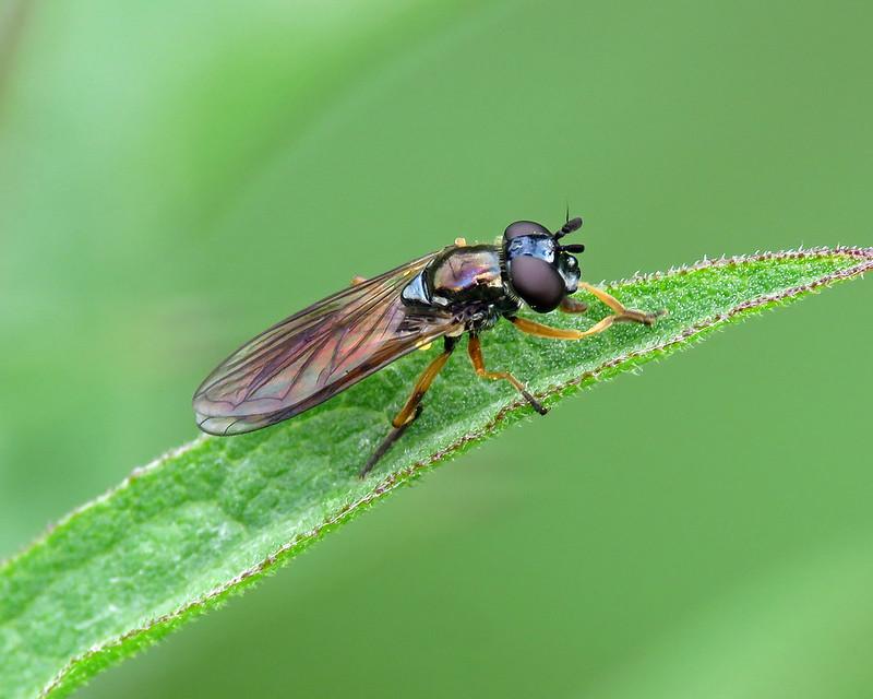 Platycheirus granditarsus