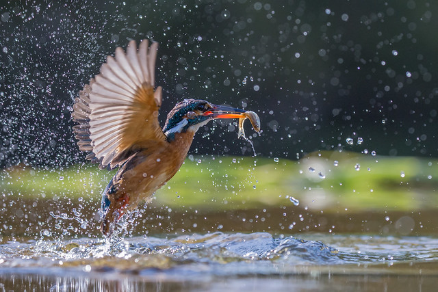 Back-lit Kingfisher (f)