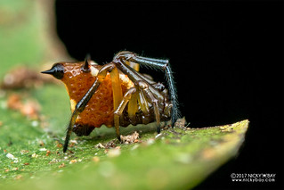 Spiny comb-footed spider (Phoroncidia sp.) - DSC_8695