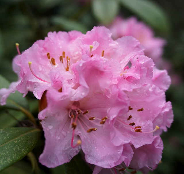 Early budding Rhododendron on a wintry weekend