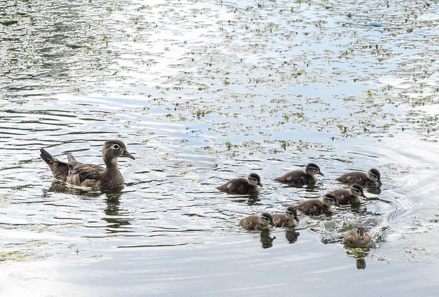 Wood duck and chicks, High Park, Toronto