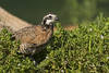 Northern Bobwhite by Stephen J Pollard (Loud Music Lover of Nature)