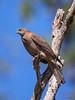 Brown Goshawk (Falco berigora) Darwin, Northern Territory, Australia 2016 by Ricardo Bitran