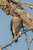 Adult Cooper's Hawk by djbartling