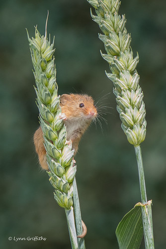 nature rodents harvestmouse captive fauna mammal mammals rodent rodentia wildlife greensnorton england unitedkingdom gb coth specanimal coth5 sunrays5