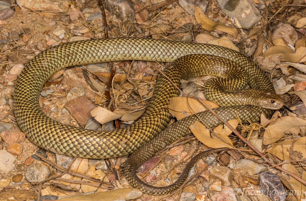 Mulga snake (Pseudechis australis)   Alice Springs area