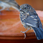 Juvenile Spotted Towhee (Pipilo maculatus)