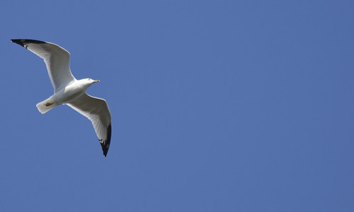 herring gull petrie island 27092015_DSC2773_001 | by David Villeneuve