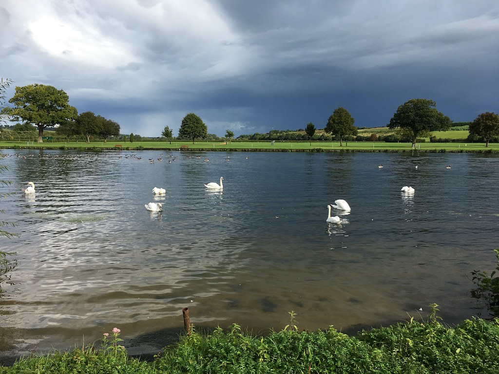 Swans on the Thames Henley via Turville Circular walk