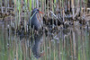 Water rail (Rallus aquaticus) Waterral by Ron Winkler nature