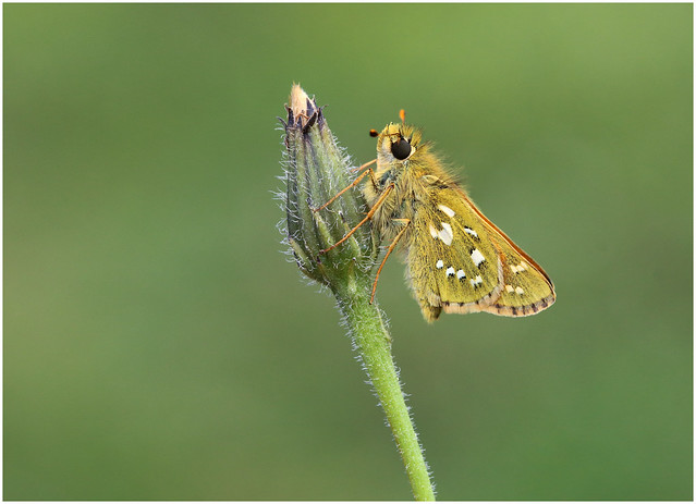 Silver-spotted Skipper (M)