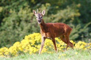 Roe Deer | by Paul Marfell