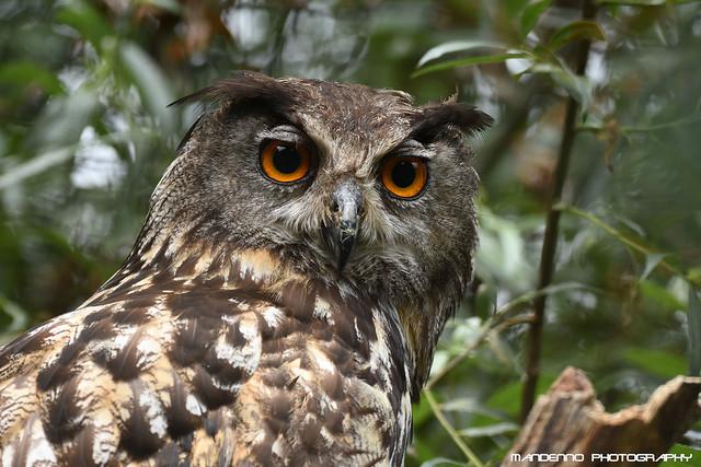 European eagle owl - Dierenrijk