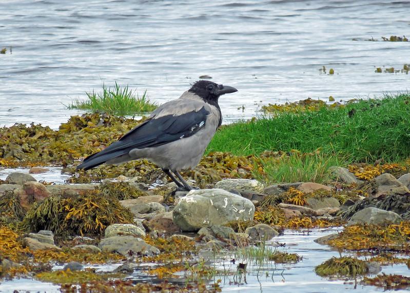 Hooded Crow - Corvus cornix