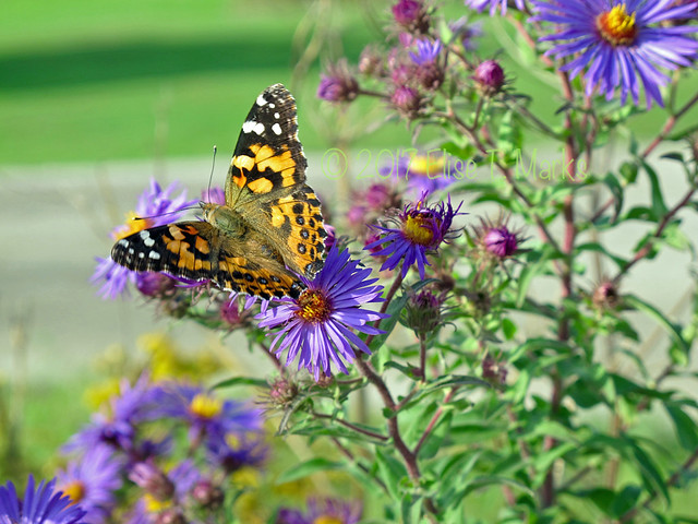 Painted Lady on Asters 12