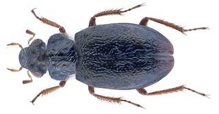 Ochthebius almorensis (Jaech, 1989) | by urjsa