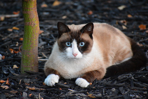 Snowshoe Cat is Looking at You with Intensity and Intent | by sonstroem