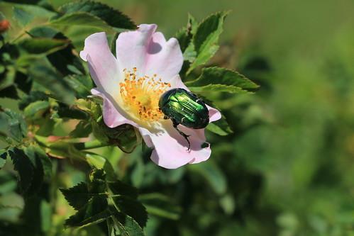 europe europa bosnia bosna bosniahercegovina bosnaihercegovina balkan balkans cetoniaaurata greenrosechafer rosechafer beetle