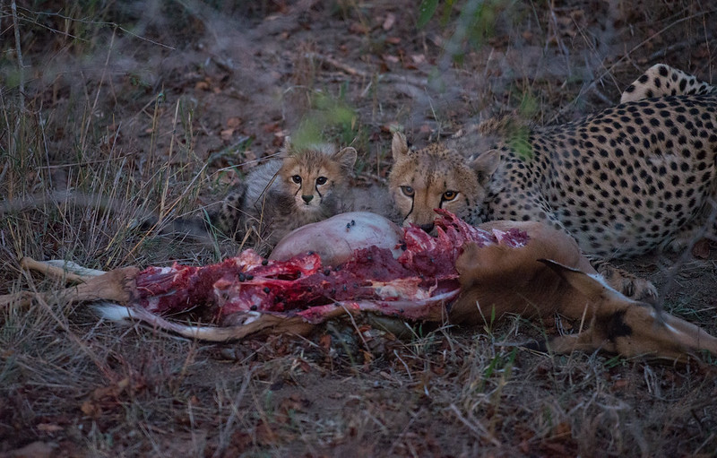 Cheetah and cub after a successful hunt